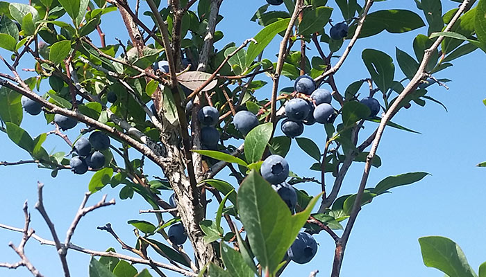 1830 Blueberries2